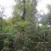 """""""Ilex Aquifolium Green Pillar  f"""""""