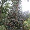 """""""Ilex Aquifolium Bericulum Beauty  f"""""""