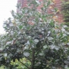 """Ilex Altaclerensis (cutting from Hampton Court)"""