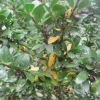 """Ilex Crenata (Japanese holly with black berries)"""