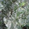 """""""Ilex Crenata  ( variegated)"""""""