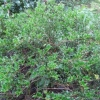 """Ilex Dimorphophylla  f  (Okinawa islands Japan)"""