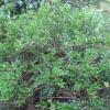 """Ilex Dimorphophylla  f  (Okinawa islands Japan)"""