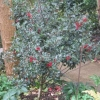 """Ilex x Meserveae  Blue Angel  f   (Blue holly group)"""
