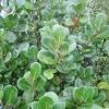 """""""Ilex Perado perado    ( parent of altaclerensis together with acquifolium))"""""""