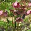 Hellebore Purpurea