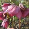 Helleborus Purpurea