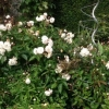 Lovely shrub rose bushes