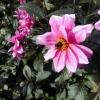 Honey bee on lovely pink Dahlia