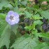 Similar to Hibiscus
