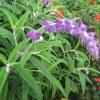 Mystery mauve fluffy flower
