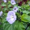 Mystery mauve shrub
