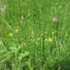 A good mixture of Pyramidal Orchid and Bird's Foot Trefoil including wild parsnip
