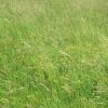 A swathe of Bird's Foot Trefoil in False Oat Grasses
