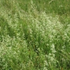 A swathe of White Hedge Bedstraw