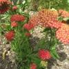 Achillia in the garden