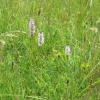 Common Spotted Orchids and buds of Cat's Ear Daisies