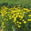 Coreopsis in the garden
