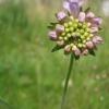 Field Scabious in bud