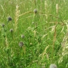 Greater Knapweed buds