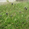 Greater Knapweeds in bud