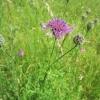 Knapweed in flower