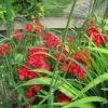 Sweet Williams in the garden