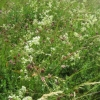 White Hedge Bedstraw