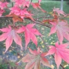 Acers turned