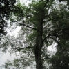 Pseudo Acacia