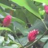 Magnolia seed heads