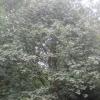 Sorbus - Whitebeam