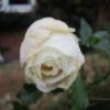 Bedraggled December rose