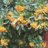 The birds haven't quite finished the Pyracantha berries in December