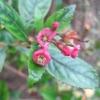Escalonea still in flower in December