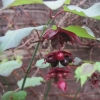 Lovely fat berries on the Lycesteria
