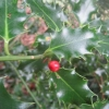 Poor little lone holly berry