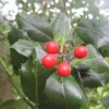 More holly berries