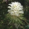 white ornamental cabbage