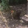 Little hen