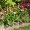 Astrantia and others