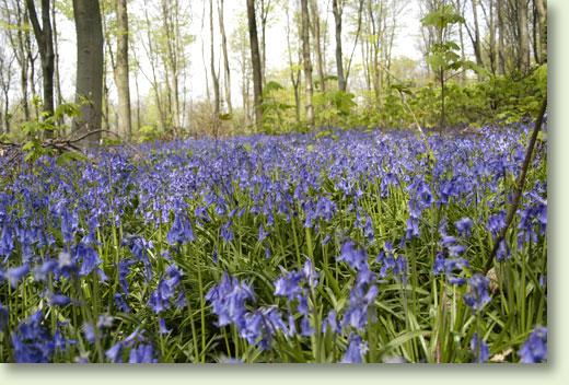 bluebells1