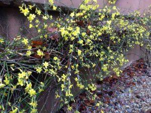 Winter-flowering-jasmine