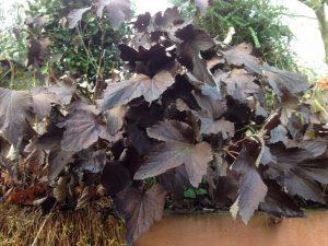 Winter-frost-bitten-leaves