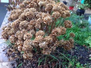 Winter-hydrangea-foliage