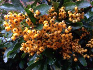 Orange Pyracantha berries