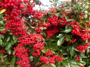 Red Pyracantha berries shining in the greyness