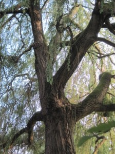 Enormous Weeping Willow opposite Library