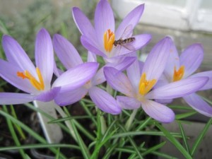 Crocus up close