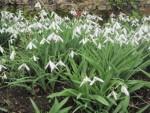 BGs Visit to Snowdrops Garden